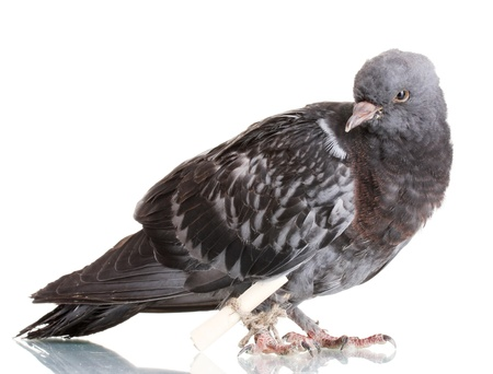 One grey messenger-pigeon isolated on white photo