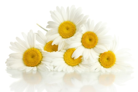 beautiful daisies flowers isolated on white photo