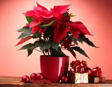 beautiful poinsettia in flowerpot, and Christmas balls and gifts on wooden table on red background photo