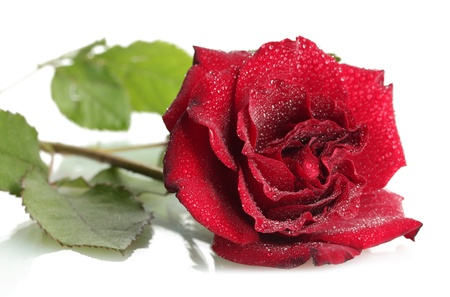 beautiful red rose with drops isolated on white photo