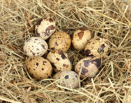 quail eggs in a nest of hay close-up photo