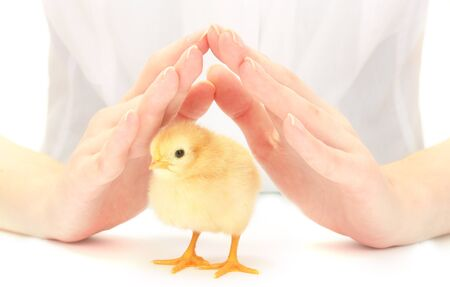 beautiful little chicken and hands isolated on the white photo