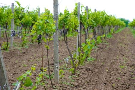 Young vineyard photo