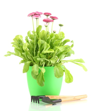Daisy flowers in pot with instruments isolated on white photo