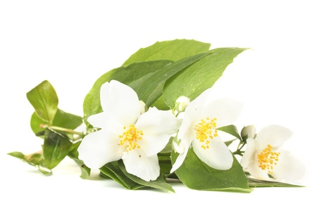 jasmine flower: beautiful jasmine flowers with leaves isolated on white Stock Photo