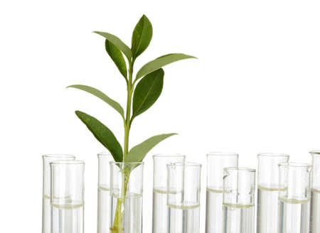 incubate: Test-tubes with a transparent solution and the plant on white background close-up