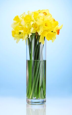 beautiful yellow daffodils in transparent vase on blue background photo