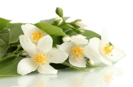 jessamine: bellissimi fiori di gelsomino con foglie isolato su bianco