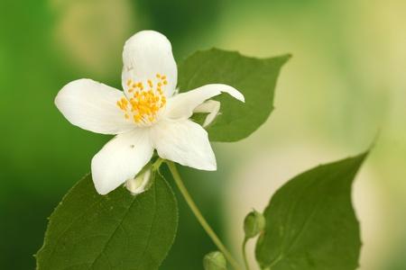 jessamine: gelsomino bel fiore con foglie su sfondo verde