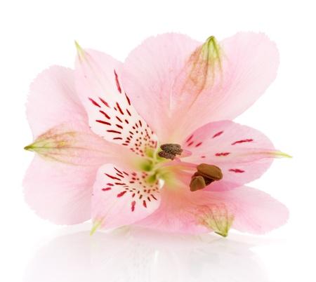 alstroemeria pink flower isolated on white photo