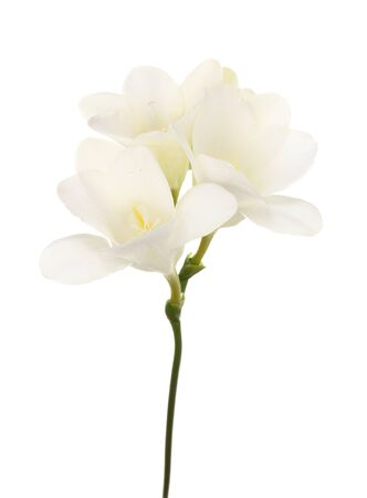 Beautiful freesia isolated on white Stock Photo - 14097064