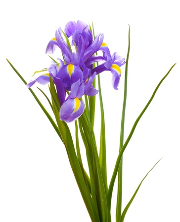 purple iris: Beautiful bright irises isolated on white Stock Photo