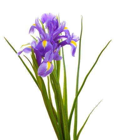 iris fiore: Belle iridi luminose isolato su bianco