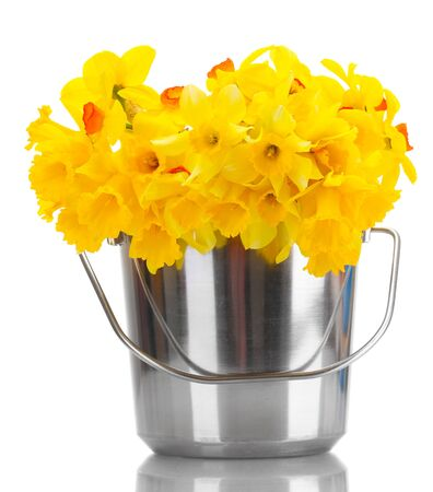 beautiful yellow daffodils in a bucket isolated on white photo