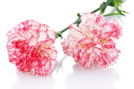 crimson colour: two pink beautiful carnations isolated on white Stock Photo