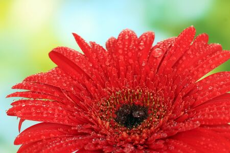 Beautiful red gerbera on green background close-up photo
