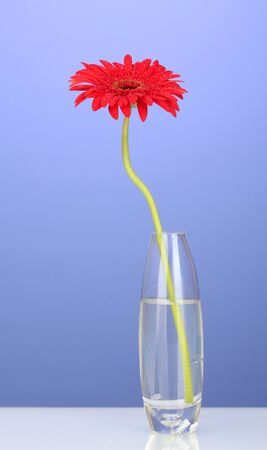 Beautiful red gerbera in vase on violet background close-up Stock Photo - 14171382