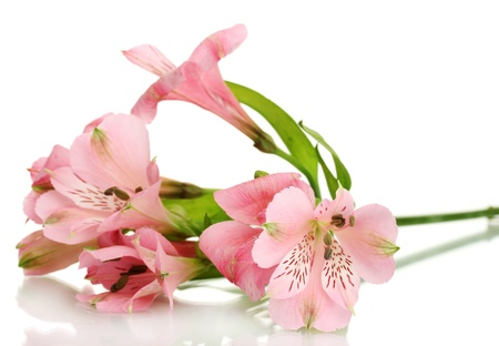 alstromeria: alstroemeria pink flowers isolated on white