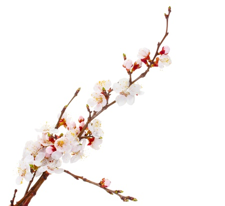 beautiful apricot blossom isolated on white  Stock Photo