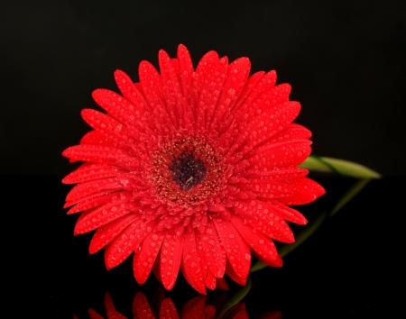 Beautiful red gerbera isolated on black  close-up photo