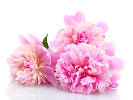 흰색에 고립 된 분홍색 모란 꽃