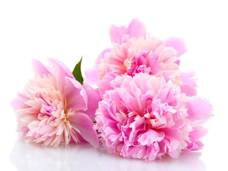 pink peonies flowers isolated on white Stock Photo