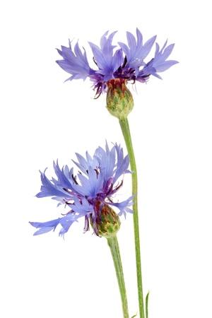 cornflowers isolated on white Stock Photo - 14292293