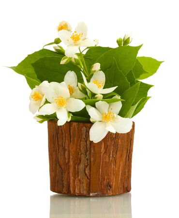 beautiful jasmine flowers in flowerpot isolated on white photo