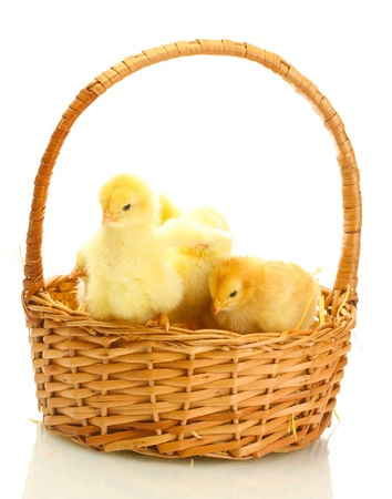 beautiful little chickens in basket isolated on the white photo