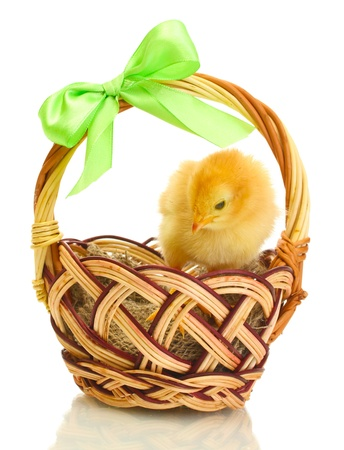 beautiful little chicken in basket isolated on the white photo