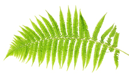 Fern on white background close-up photo