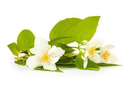 beautiful jasmine flowers with leaves isolated on white photo