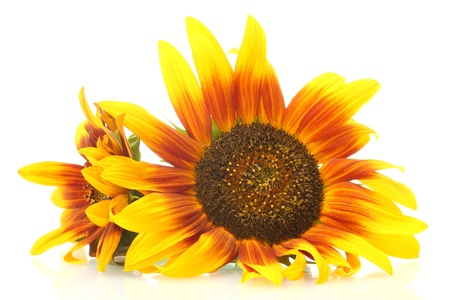 beautiful sunflowers , isolated on white  photo
