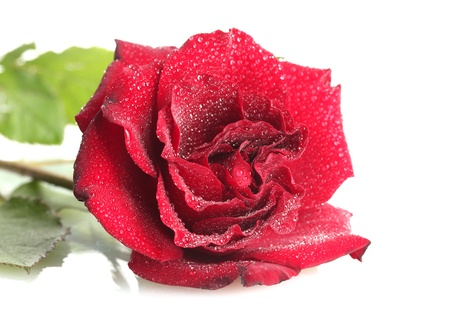 beautiful red rose with drops isolated on white Stock Photo - 14457527