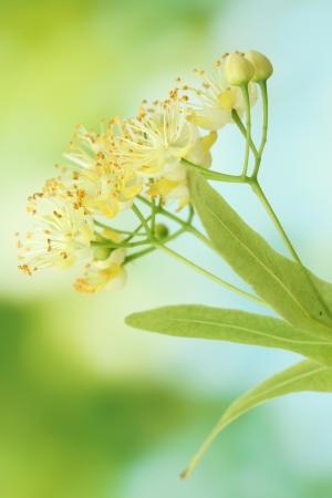 linden: 정원에서 린든 꽃의 지점