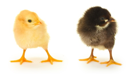 black and yellow little chickens isolated on the white Stock Photo - 14467991