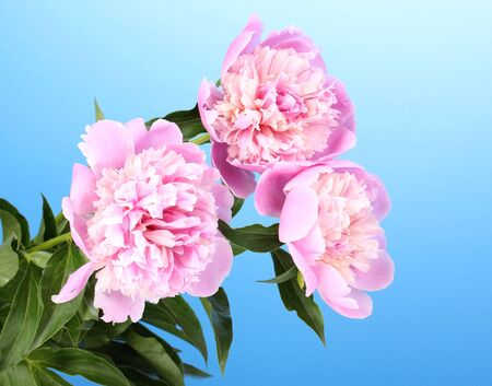 Three pink peonies on blue background photo