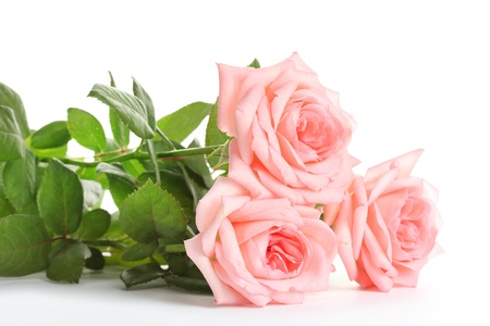 Pink roses isolated on white  photo