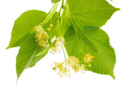 linden: 흰색에 고립 된 린든 꽃의 지점