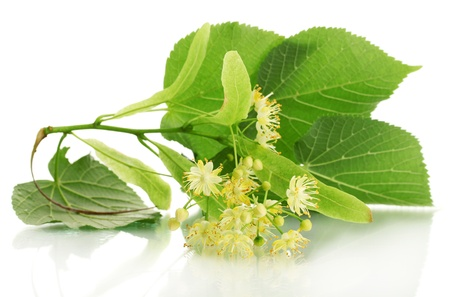 lime blossom: Branch of linden flowers isolated on white Stock Photo