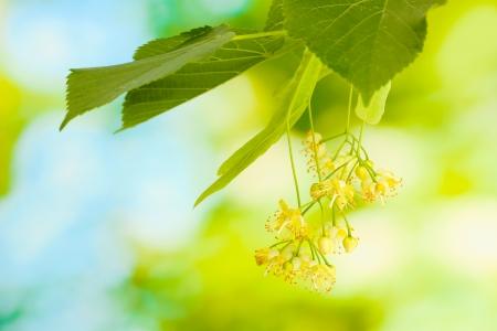 linden: 정원에있는 보리수 꽃의 지점 스톡 사진