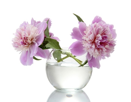 pink peonies flowers in vase isolated on white photo