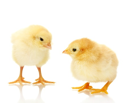 two yellow little chickens isolated on the white photo