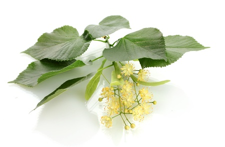 Branch of linden flowers isolated on white photo