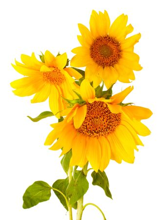 beautiful sunflowers, isolated on white photo