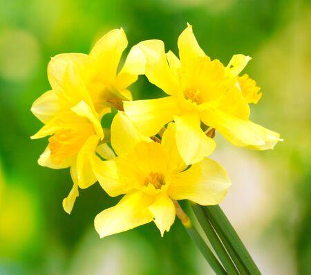 beautiful yellow daffodils  on green background Stock Photo - 14706457