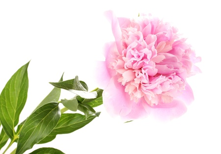 Pink peony isolated on white photo
