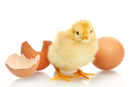 beautiful little chicken, egg and eggshell isolated on the white photo