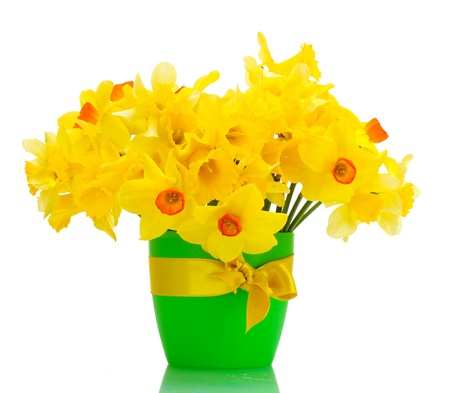 beautiful yellow daffodils in flowerpot isolated on white photo
