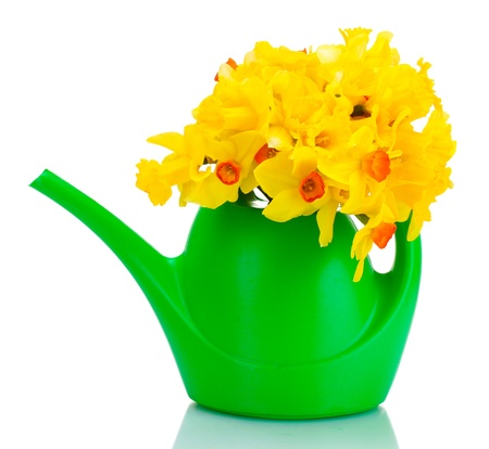 beautiful yellow daffodils in  watering can isolated on white photo